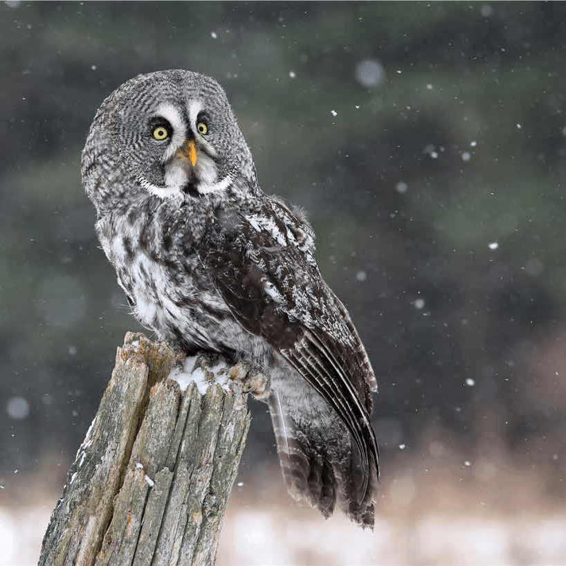 Owl | Hinton, AB - Official Website