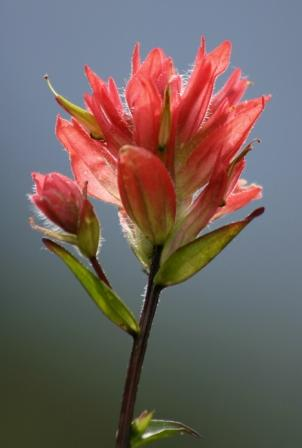Photo of Indian Paintbrush